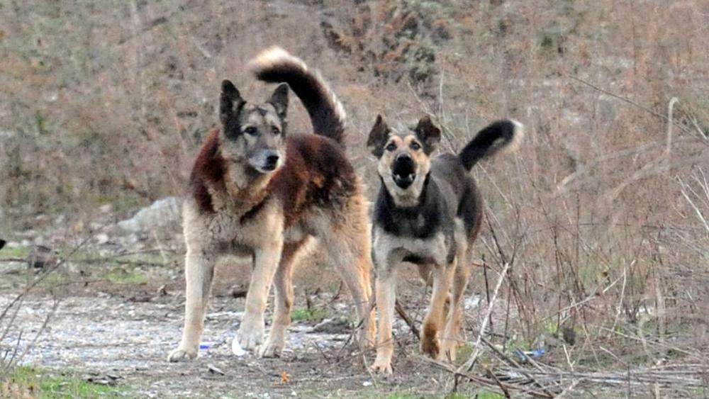 fauna puglia cani-selvatici