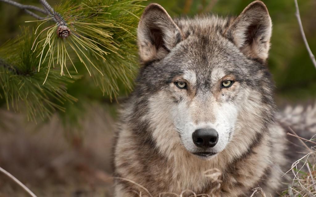 fauna puglia lupo